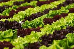 Coltura idroponica di verdure Fotografie Stock