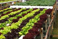 Coltura idroponica di verdure Fotografia Stock Libera da Diritti