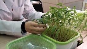 Coltura idroponica - piante crescenti in acqua senza terra in laboratorio Mani femminili del laboratorio in un tocco delle camice video d archivio