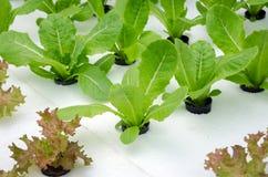 Coltura idroponica verde della lattuga Immagini Stock