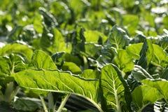 Coltura verde della bietola da coste in un campo della serra immagini stock