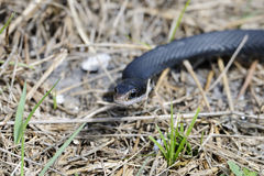 Coluber constrictor priapus, southern black racer Royalty Free Stock Photo