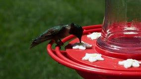 Colubris del maschio Ruby Throated Hummingbird, di archiloco, pertiche e bevande all'alimentatore dell'uccello stock footage