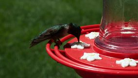 Colubris do homem Ruby Throated Hummingbird, do Archilochus, varas e bebidas no alimentador do pássaro filme