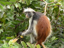 colubus monkeys красный цвет Стоковое Изображение RF