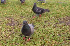 Columba利维亚(原鸽)在公园 免版税库存图片