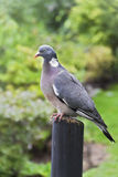 Columba Livia on a bough. Columba Livia (Pigeon) on a bough Stock Photography