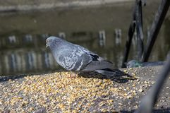 Columba livia domestica birds on river bank, pigeons picking grains royalty free stock photos
