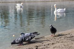 Columba livia domestica pigeons birds on river bank, group of white Cygnus olor mute swans on background royalty free stock photo