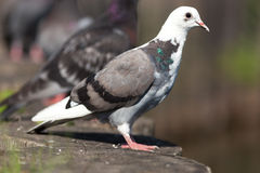 Columba livia, Rock Dove. Royalty Free Stock Images