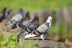 Columba livia, Rock Dove. Stock Photo
