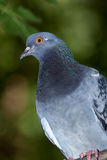 Columba livia, Rock Dove. Royalty Free Stock Image