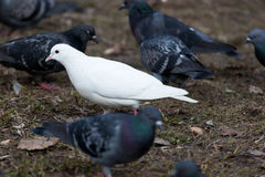 Columba livia, Rock Dove. Stock Photography