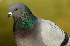 Columba livia, Rock Dove Royalty Free Stock Photos