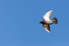 Columba livia, Rock Dove. Royalty Free Stock Images