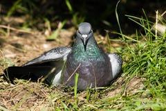 Columba livia, Rock Dove, Pigeon Stock Photos