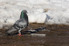 Columba livia, Rock Dove, Pigeon Royalty Free Stock Photo