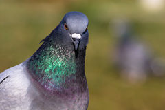 Columba livia, Rock Dove, Pigeon Royalty Free Stock Image