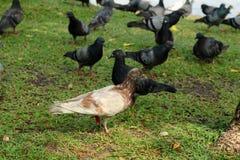Rock Pigeons (Columba livia) at a Park Stock Image