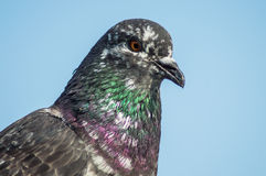Columba livia Stock Photography