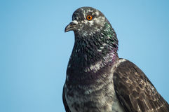 Columba livia Royalty Free Stock Photo
