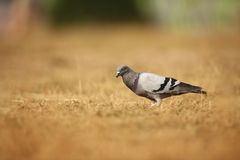 Columba livia. Wild nature of Czech. Bird on a meadow in nature. Nature of Europe stock photography