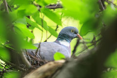 Columba palumbus, Woodpigeon. Royalty Free Stock Images