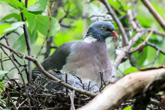 Columba palumbus, Woodpigeon. Stock Photo
