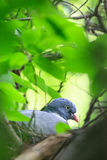 Columba palumbus, Woodpigeon. Stock Photos