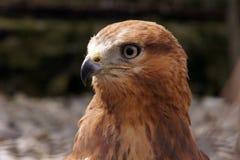 Columbarius Falco Мерлина стоковые фотографии rf