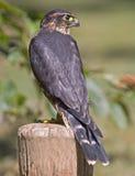 columbarius falco Merlin zdjęcie stock