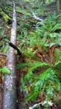 Columbia Britannica, costa, foresta pluviale Fotografia Stock
