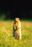Columbia Ground Squirrel Stock Photo