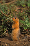 Columbia Ground Squirrel Royalty Free Stock Photo
