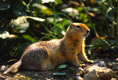 Columbia Ground Squirrel Royalty Free Stock Photos