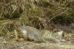 Columbia Ground Squirrel Royalty Free Stock Image