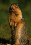 Columbia Ground Squirrel. A columbian ground squirrel standing and staring Stock Images