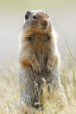 Columbia Ground Squirrel - Banff National Park, Canada Royalty Free Stock Photo