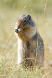Columbia Ground Squirrel - Banff National Park, Canada Royalty Free Stock Photography