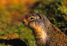 Columbia Ground Squirrel Portrait Royalty Free Stock Photos