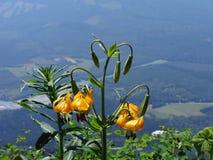 Columbia lilja Arkivbild