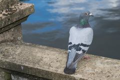 Columbia Livia, the Rock Dove looking directly at the camera. Columbia Livia, the Rock Dove close up eye contact Stock Image