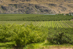 Columbia River Apple Orchards Stock Photography