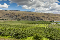 Columbia River Apple Orchards Royalty Free Stock Photo