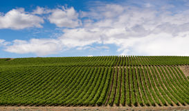Columbia River Gorge Grape Plantation Fruit Orchard Agriculture Royalty Free Stock Photography