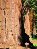 Columbia Tree, Yosemite Park, USA Stock Photos