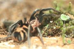 Columbian dwarf tarantula. In the soil Stock Photos