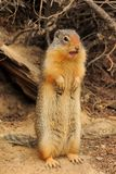 Columbian Ground Squirrel Stock Photos