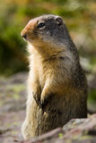 Columbian Ground Squirrel. Standing Watch Stock Photography