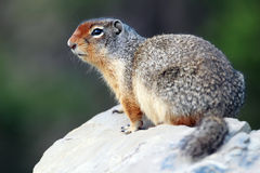 Columbian Ground Squirrel Royalty Free Stock Photos